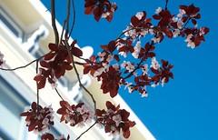 San Francisco Plums (Cathy de Moll) Tags: house abstract leaves petals san francisco victorian plum neighborhood flowering triangular