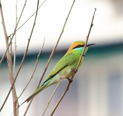 Green Bee-eater (Merops orientalis) (Ajay..) Tags: india colour green birds aves chennai oiseaux beeeater thiruvanmiyur passerine