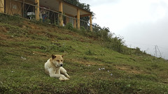 Resting dog (chaneunice) Tags: nature animal landscape landscapes vietnam sapa select