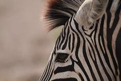 Zebreye (Going Nowhere Slowly) Tags: white black eye southafrica wildlife safari zebra krugernationalpark satara canon100400mm canon7d