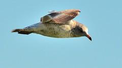 (68photobug) Tags: seagulls birds inflight nikon florida sigma swans lakeland aerials polkcounty lakemorton 150500mm d7000 68photobug