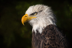 American bald eagle (C) (Phiddy1) Tags: ontario canada birds eagle baldeagle crc