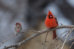 Seeing Red... (dbifulco) Tags: winter red male bird nature birds yard cardinal wildlife housefinch northerncardinal hofi gbbc2016