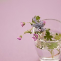 Day 51/366 (Olga Sotiriadou) Tags: pink flower nature square purple small tiny shotglass explored 366project 3662016 3662016edition 20feb16