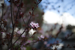 Early Sign of Spring (Xiao-Bu) Tags: spring ef35mmf14lusm canon5dmarkii