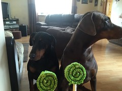 Doberman Pinschers Gabbana and Zeus - Saint Patrick's Day Lollipops - Happy Saint Patrick's Day 2016 (firehouse.ie) Tags: ireland red dog brown black male dogs saint female march day hell tan hound zeus devil 17 doberman patricks dobie pinscher hounds dobe gabba gabbana 2016 dobermann dobey dobies dobermans dobes pinschers dobermanns