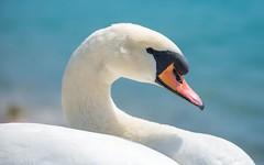 swans (31) (Vlado Ferenčić) Tags: birds animals lakes croatia swans animalplanet hrvatska nikkor8020028 nikond600 zaprešić lakezajarki