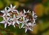 Happy visitor (roditakisnikos) Tags: flowers macro nikon nikos sp di af crassulaceae tamron 90mm honeybee vc f28 usd crassula ovata d5200 roditakis