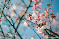 DSC00055 (sigma9988) Tags: cherry 50mm blossom bokeh sakura f18   oreston  gorlitz meyeroptik