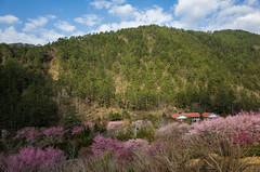 20160306-R0011918 (Kay's...) Tags: cherryblossom sakura   wuling wulingfarm