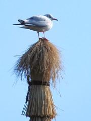 #7265 seagull (カモメ) (Nemo's great uncle) Tags: gull 東京 sumidaku tōkyō 旧安田庭園 墨田区 カモメ 鴎 formeryasudagarden 横網一丁目