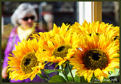 Fake it Baby (rhugo) Tags: cumbria sunflowers fakes kendal