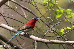 Souimanga siparaja (Philippe Lcuyer) Tags: pakistan islamabad birdwatcher crimsonsunbird aethopygasiparaja nectariniidae