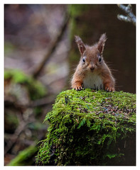 Red Squirrel (Kieran Commins) Tags: red animal squirel windlife