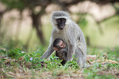 cercopitechi-dic.2015_8111 (Marco Pozzi photographer (750k+ views, thanks)) Tags: africa southafrica monkey vervet krugernationalpark kruger pozzi sudafrica specanimal marcopozzi marcopozziphotographer