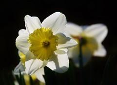 daffodil daffodils