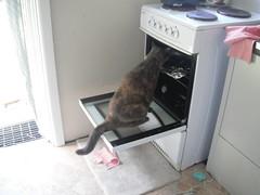 Self Designated Food Police (~ MCJ) Tags: josie rescuecat intheoven 9yo greybluecreamtortoiseshell
