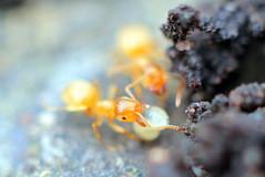 The Yellow Meadow Ant (Benn Gunn Baker) Tags: macro church nature st yellow canon garden bristol george baker ant small hill tube meadow soil larvae carry rd benn gunn nesting extender 550d flavus lasius t2i