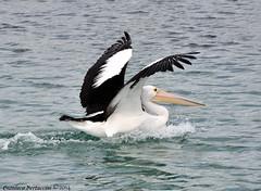Pellicano (bertu89) Tags: animal nikon australia pelican kangarooisland 18105 2014 pelecanus pellicano d5000 workingholidayvisa