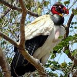 Rey Zamuro [King Vulture] (Sarcoramphus papa) thumbnail
