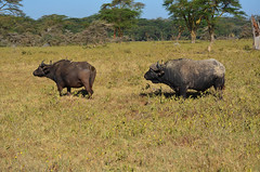 LN_safari_waterbuffalo_03 (chiang_benjamin) Tags: africa morning game water animal animals nationalpark kenya reserve bufallo lakenakuru