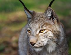 Lynx (pentars) Tags: wild portrait nature animal cat eyes close pentax quality sigma puma f4 lynx 100300 k5ii