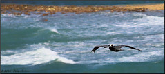 Pelican (Taking pics, and eventually posting them!!!) Tags: canon eos pelican jamaica falmouth 70200mm ef70200f4l 70d pspx8 paintshopprox8