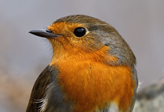Robin Redbreast (Fong Lim) Tags: travel 3 nature robin canon photography scotland photos wildlife iii scot 5d mm ef mk lim benn fong redbreast dlsr eighe 14x 100400