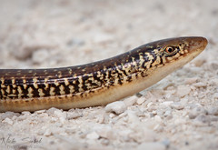Island Glass Lizard (Nick Scobel) Tags: nature glass island florida wildlife lizard herps legless
