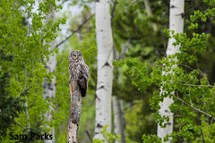 GG11 (Sam Parks Photography) Tags: trees wild summer usa bird nature animal forest landscape rockies rodent spring wings woods nps wildlife unitedstatesofamerica ghost wide feathers meadow environmental aves raptor northamerica rockymountains prey wyoming greatgrayowl phantom predator habitat carnivorous naturalworld jacksonhole avian tetonrange parkservice strigiformes grandtetonnationalpark predatory aspentree strixnebulosa predation gye mountainous carnivora strigidae gtnp greateryellowstoneecosystem aspenstand horizontalorientation carniore