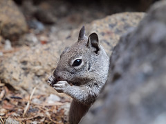 Scoiattolo grigio - Grey squirrel - Explored 3/17/16 (Attilio Piselli) Tags: california park portrait topf25 topf50 squirrel wildlife yosemite animali scoiattolo greysquirrel