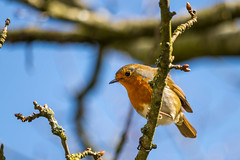 Robin @ Brickcroft Nature Reserve (John Livesey) Tags: robin preston longton 55250 brickcroftnaturereserve