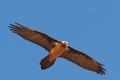 Bearded Vulture (Oleg Chernyshov) Tags: lammergeier beardedvulture gypaetusbarbatus  gypaetusbarbatusmeridionalis