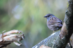 DSC_3652 (gerald2231) Tags: bird vogel singvogel heckenbraunelle braunelle