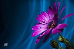 Nature (Luca Romano) Tags: life flowers light stilllife lightpainting flower love nature dream natura amour lovely fiore rugiada amore pianta acceso sogno gocce sfondo naturalmente lightstudy profonditdicampo innamorato sentimenti