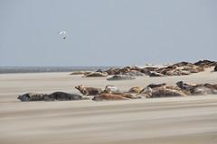 Engelschhoek - Halichoerus grypus (Dirk Bruin) Tags: terschelling de grey vlieland seal sanctuary sandbank hoek zeehond engelse zeehonden geus grijze robbentocht zeehondentocht zeehondenbank engelschhoek engelshoek