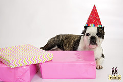 proppie4ml (fifa foto) Tags: birthday party dog pet cute hat french sweet bulldog gifts presents