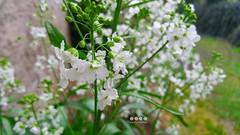 Unkraut, Wildstaude oder Wiesenblume - wer kennt die Pflanze? Du kennst sie? Dann bitte ich um eine Email oder einen Kommentar (warata) Tags: italien italy alps italia blumen alpen sdtirol frhling altoadige southtyrol blten dolomiten 2016 unkraut wiesenblume wildstaute