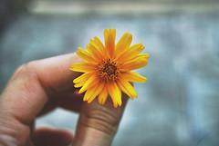warm color on a cold day (thalita_fernanda) Tags: flowers blue flores flower yellow azul petals hand skin flor petal amarelo mo pele ptalas ptala
