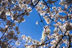 IMG_9407 (elenafrancesz) Tags: uw cherry blossoms wordless
