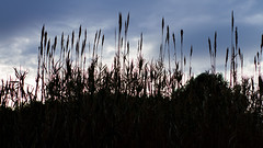 Wheat (CarmenGallego) Tags: blue sky plants mountain nature clouds canon dark relax photography 50mm design photo alone photographer darkness natural designer wheat cereal bluesky pic calm vegetation vilanova trigo nofilter vilanovailageltru trigal vng canon7d cucanya yongnuo