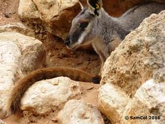 P1030280 (samcol6) Tags: nature animals rock lumix zoo sam south australia panasonic wallaby col 2016 monarto fz150 samcol6
