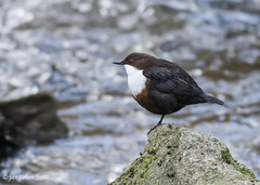 the observor (blackfox wildlife and nature imaging) Tags: wales canon 350d wildlife dipper loggerheads canon400mml