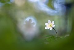 Anemone nemorosa (MichaSauer) Tags: wood flower macro spring anemone makro buschwindrschen windflower 150mm frhblher anmonesylvie