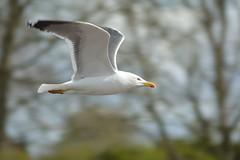 Herring gull (Daggormet) Tags: wild bird nature animal fauna flying nikon wildlife gull flight penarth avian bif cosmeston cosmestonlakes nikond5200