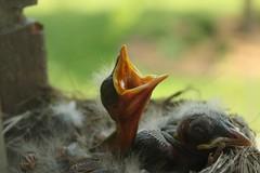 (mchlhammer) Tags: baby bird window robin nest