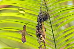 Rufous-breasted Hermit Hummingbird at Nest (Kamal50) Tags: tree nature beautiful canon wonder wings hummingbird wildlife flight feather trinidad caribbean westindies trinidadandtobago canoneos7dmarkii