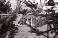 Protecting the house (Ursus Bear) Tags: blackandwhite bw dog white house black film monochrome analog 35mm canon eos mono blackwhite outdoor monochromatic xp2 chrome 400 650 135 ilford ef protect f3545 3570 ilfordxp2400super