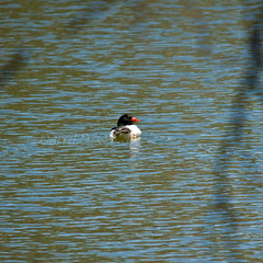 Common Merganser 12 (male) (LongInt57) Tags: blue red orange white canada black green bird nature water swimming grey pond bc okanagan wildlife gray floating kelowna common merganser