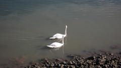 Oissel - Bords de Seine - Cygnes (jeanlouisallix) Tags: france nature seine river landscape eau rivire maritime normandie animaux paysages cygnes oiseaux haute fleuve oissel